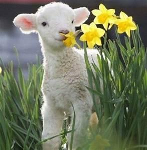 babay lamb