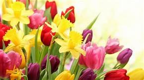 tulipe and daffodils